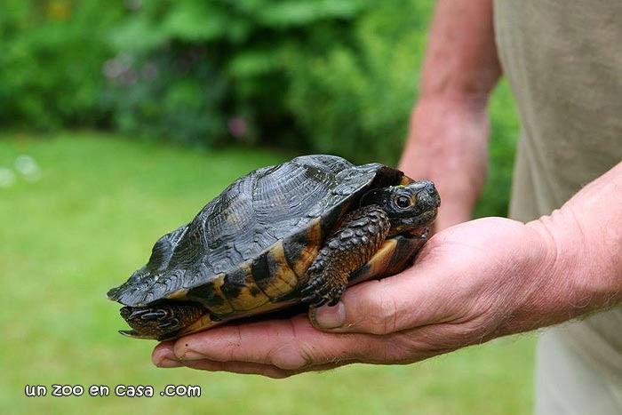 Glyptemys insculpta, tortuga de bosque