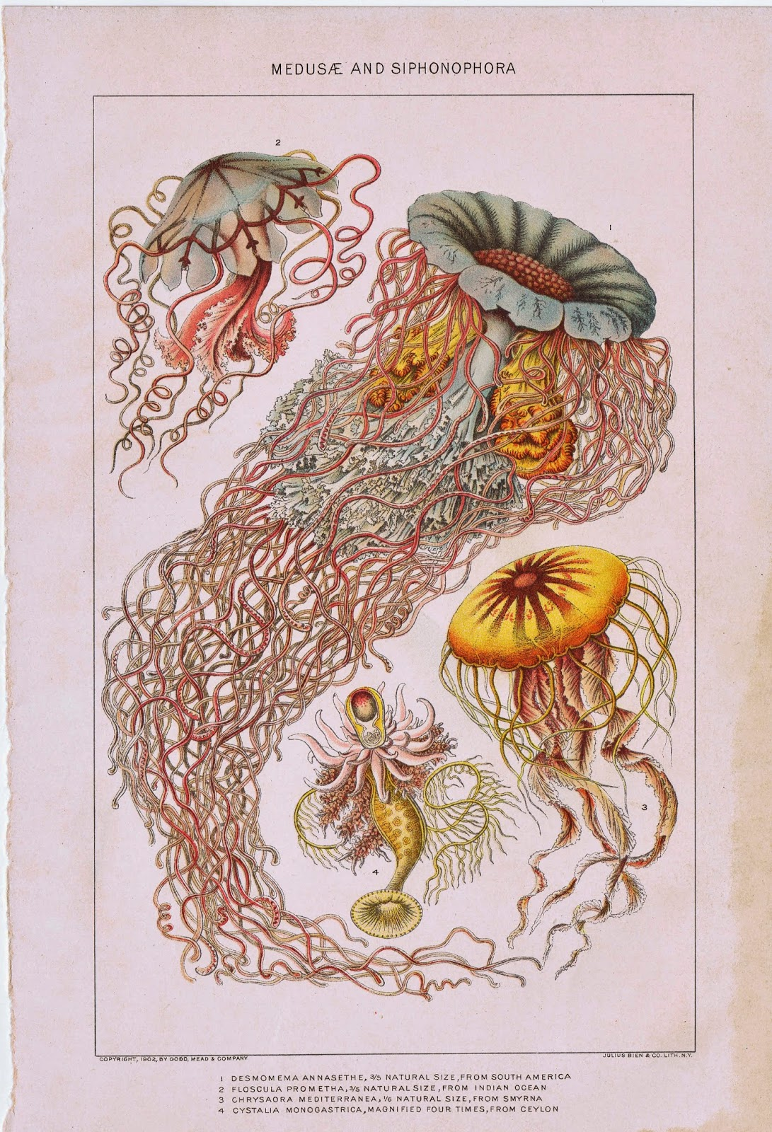 Antique Nature Printable Ocean Life Organisms Book Plate Poster via KnickofTimeInteriors.blogspot.com