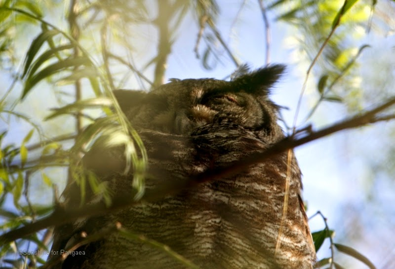 Greyish Eagle-Owl or Vermiculated Eagle-Owl (Bubo cinerascens) in a tree