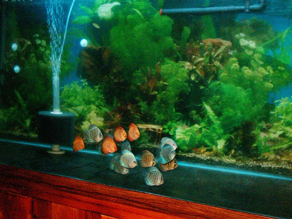 Discus fish in 15 gallon tank 29 gallon aquarium discus for 29 gallon fish tank