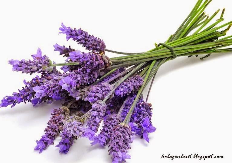 herba lavender untuk cantik