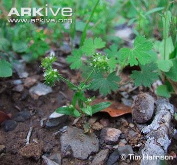 Valerianella Valerianella affinis
