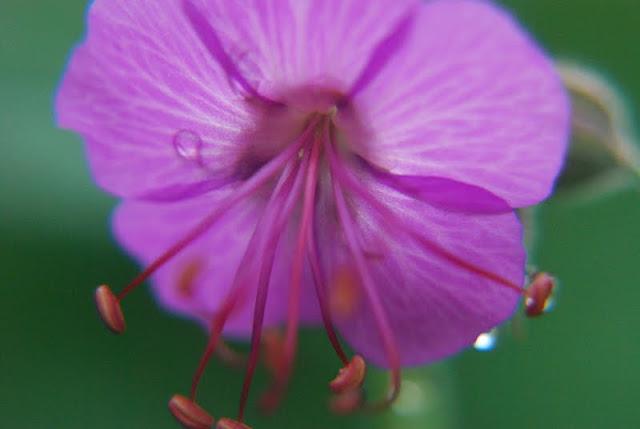 Close up of Geranium macrorrhizum 'Bevan's Variety' with raindrops