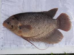 Teknik Cara Budidaya Ikan Gurami