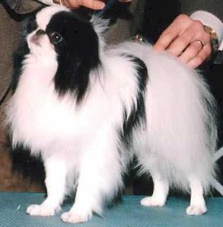 Japanese Chin,mega interessante,cachorro mais caro do mundo,curiosidade