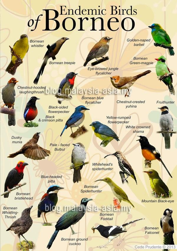 Endemic Birds of Sabah Borneo