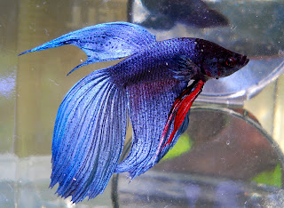 Bubbles bettas tail types and patterns for Cool betta fish names