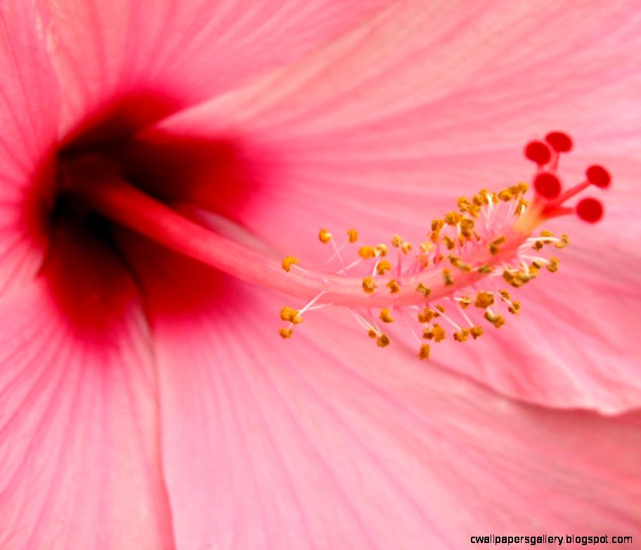 Photo Pink Hibiscus in the album Nature Wallpapers by CharlieJ