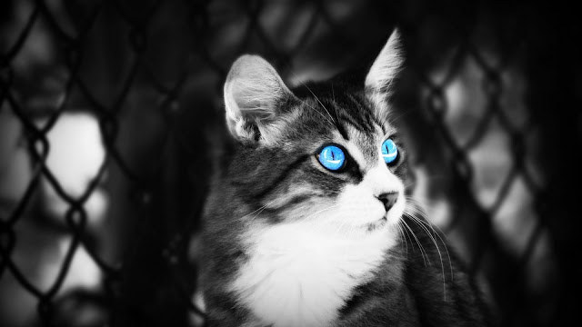 Beautiful Cat With Blue Eyes Wallpaper