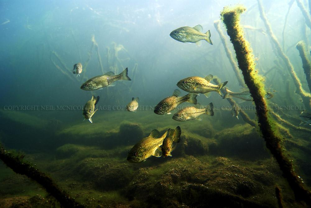 largemouth bass underwater nesting largemouth bass largemouth bassLargemouth Bass Pictures Underwater