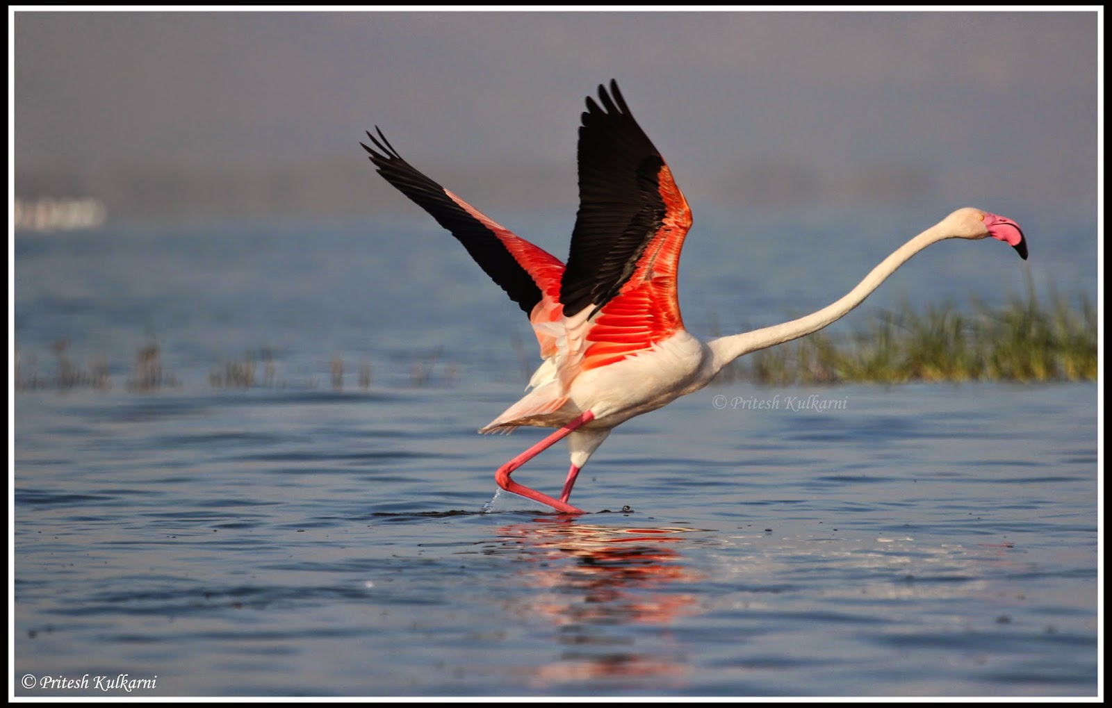 Ready for take off - Greater Flamingo