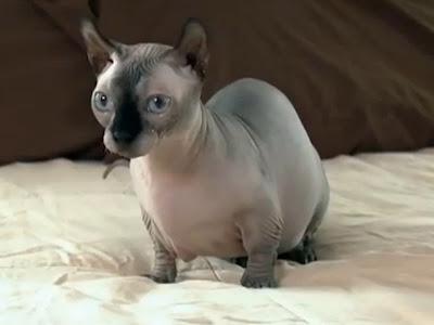 gambar kucing dwelf