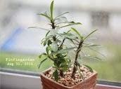 โป๊ยเซียนแคระ Dwarf Euphorbia