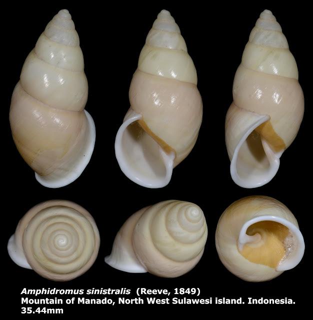 Amphidromus sinistralis 35.44mm