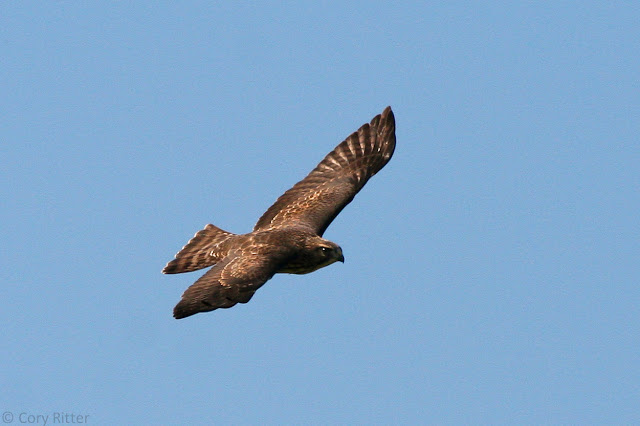 Broad-winged Hawk Upperside