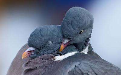 Two-Cute-Dove-Doing-Romance-Bird-Photos