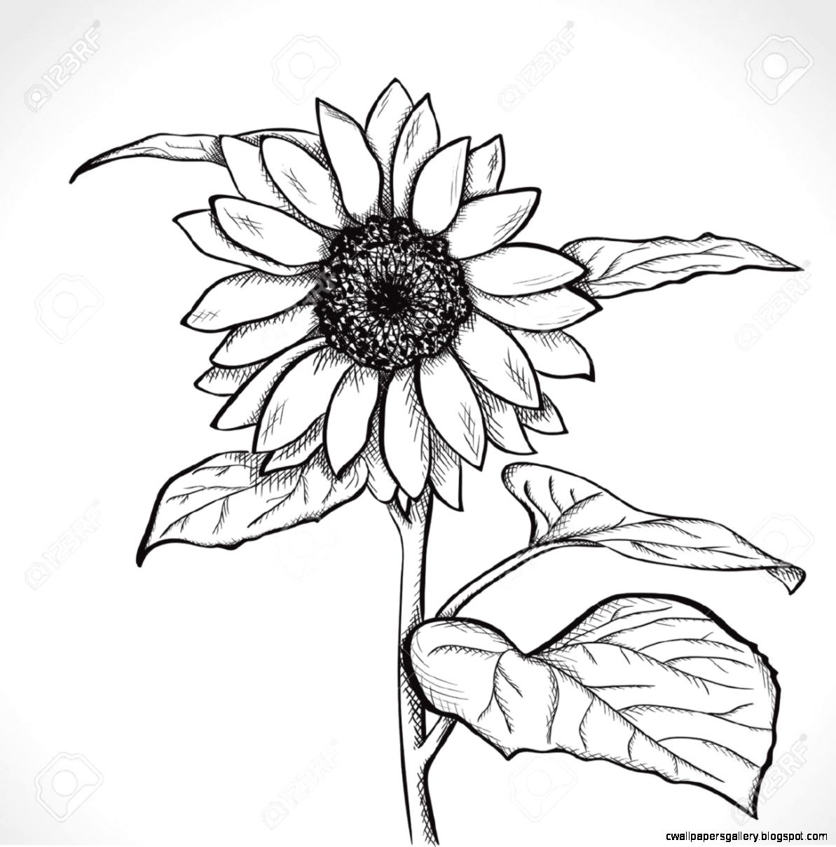 Sketch Sunflower Hand Drawn Ink Style Royalty Free Cliparts