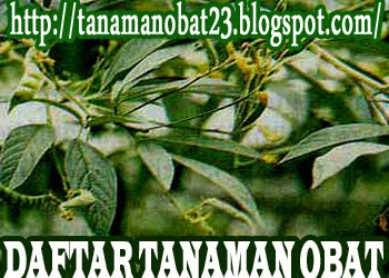 http://tanamanobat23.blogspot.com/2015/03/tanaman-obat-gude-cajanus-cajan-linn.html