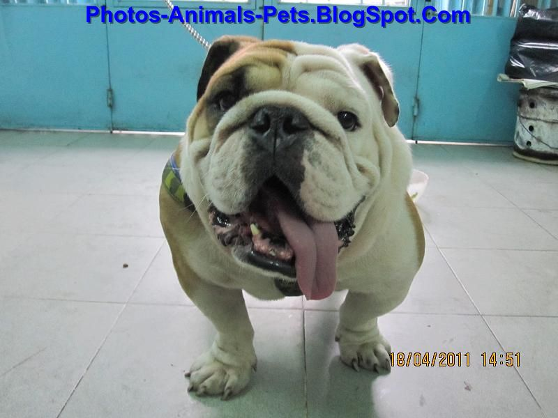Bulldog pics
