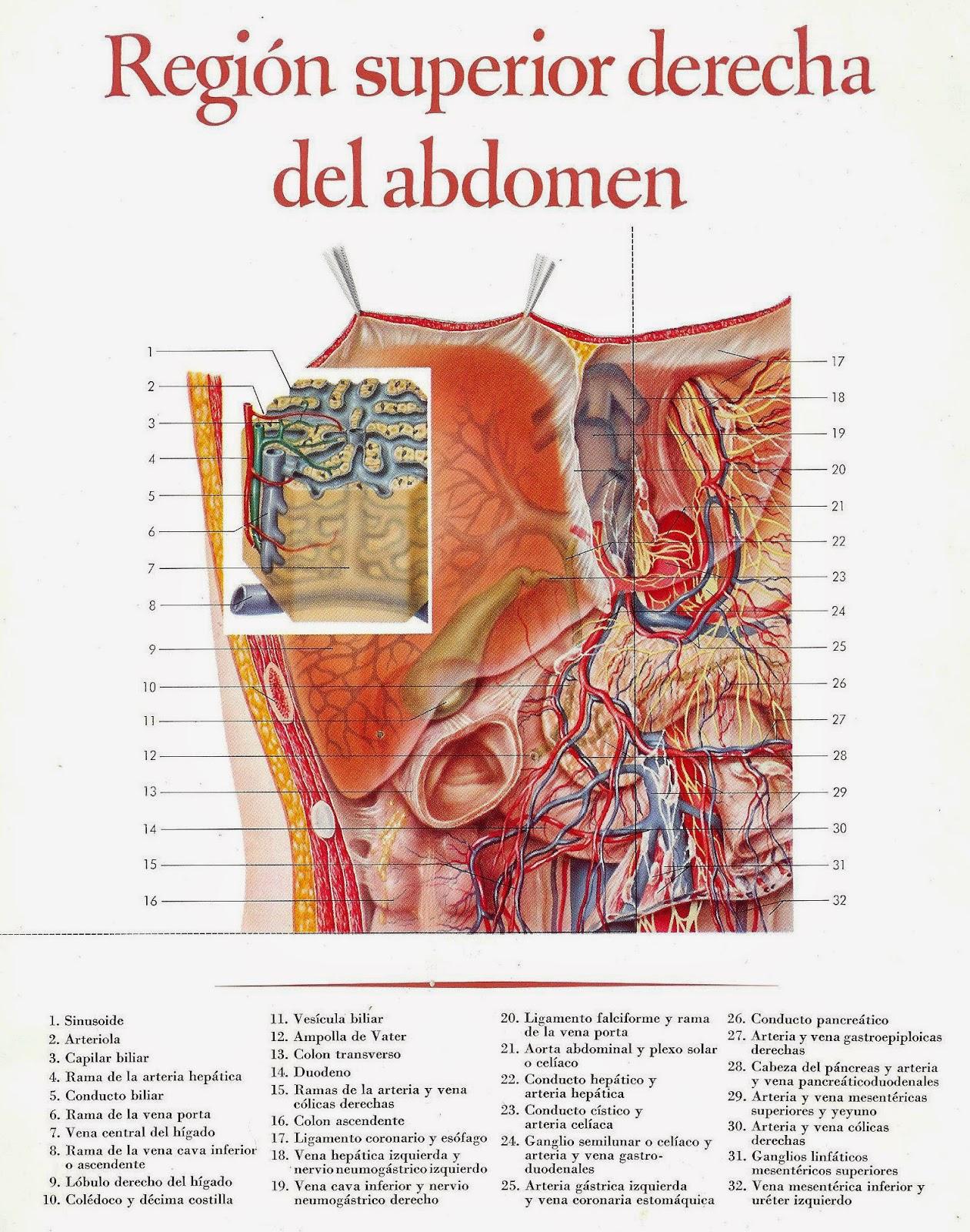 Famoso Anatomía Abdominal Superior Viñeta - Imágenes de Anatomía ...
