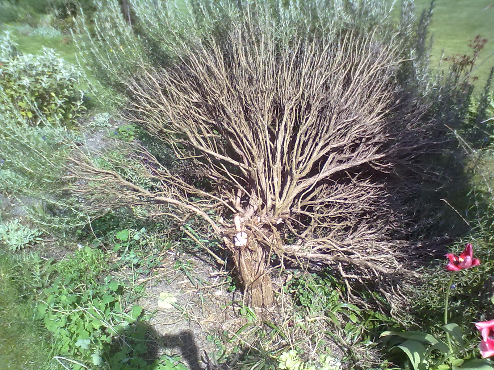 picture How to Clear Large Shrubs