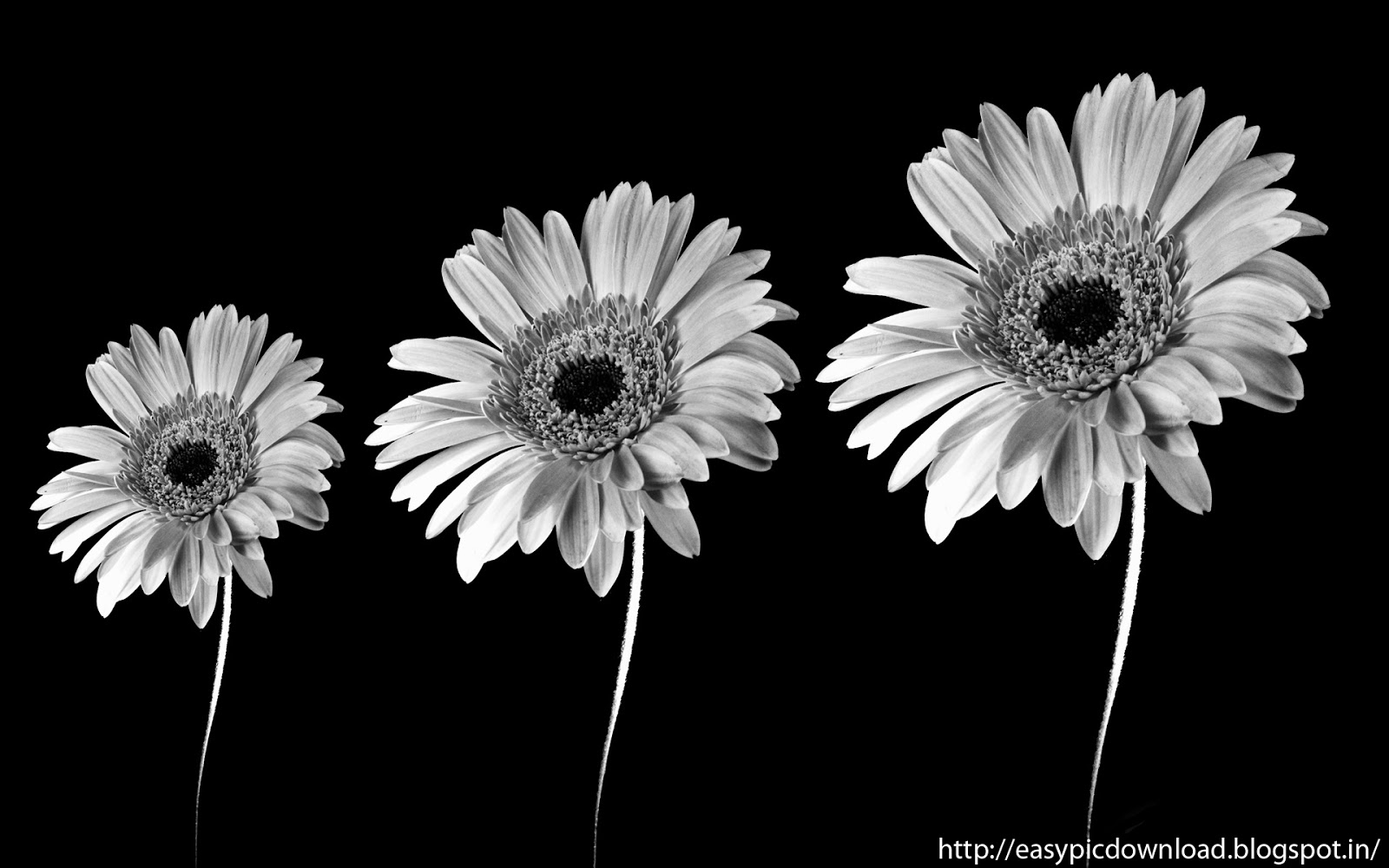 Black and white sun flower wallpaper easy pic download black and white sun flower wallpaper mightylinksfo
