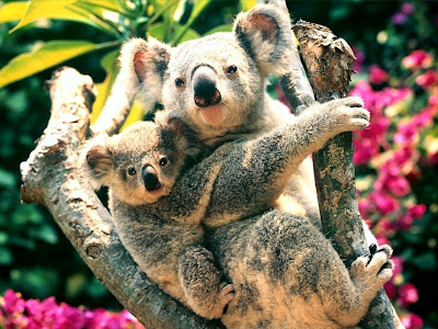 Baby Koala Bears