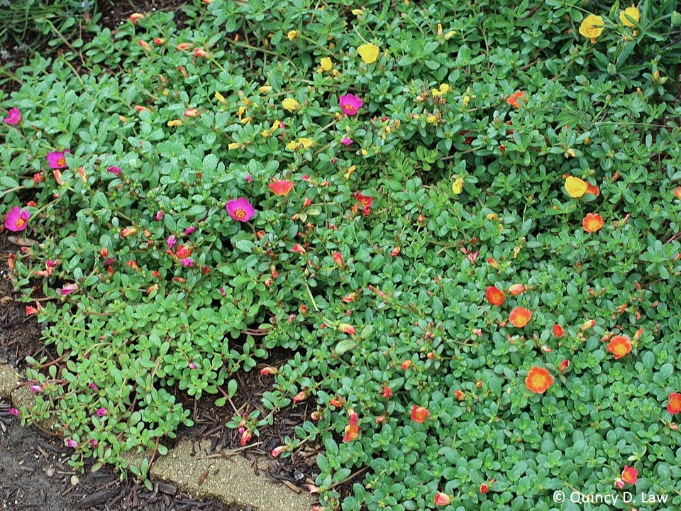 Purdue Turf Tips: Weed of the month for July 2015 is ...