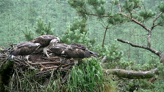 Our three chicks at the nest after a successful first flight