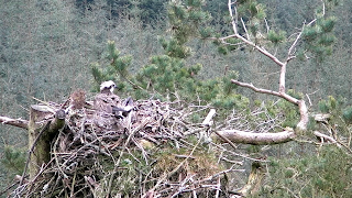 Osprey incubating at the nest in Tweed Valley