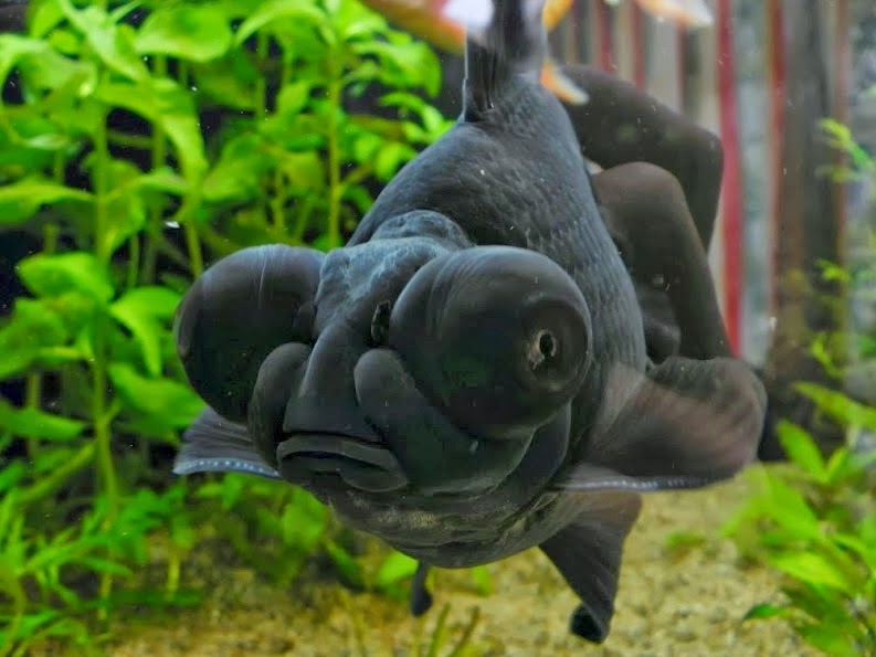 Dierenleven  De goudvis