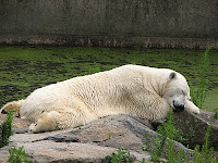 Polar bear taking a nap. Berlin zoo, summer 2007