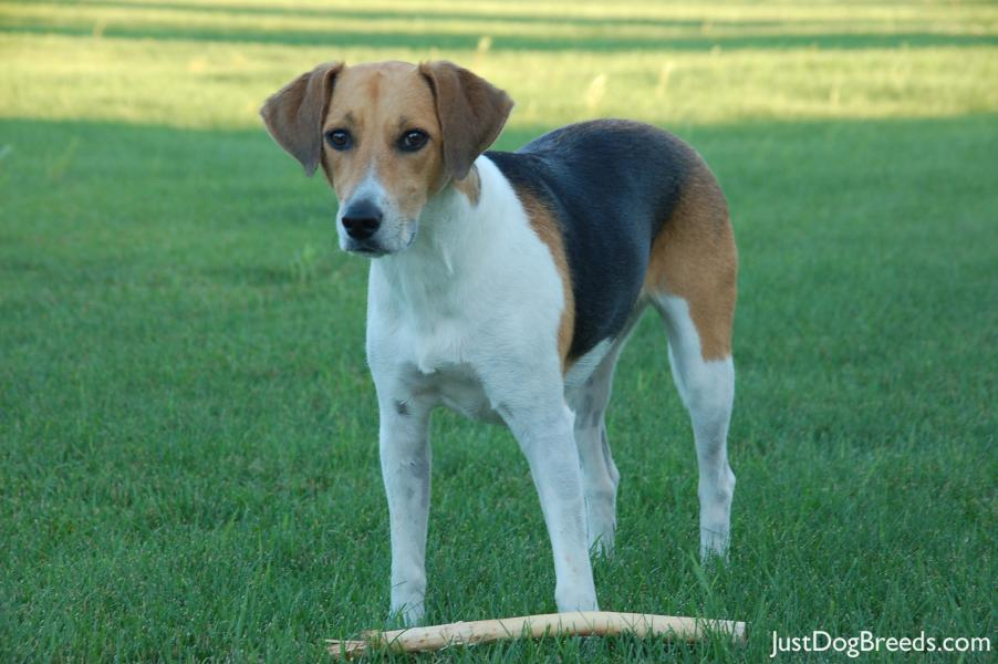 What Are Brindle Dogs besides 6 Cool Facts About Basset Hounds together with Gila Wilderness Rifle Elk Hunt together with Sportdog 3225 Hound Hunter 1 Dog additionally Beagle. on hound trailing