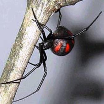 Latrodectus mactans y Latrodectus curacaviensis viuda negra argentina arañas venenosas