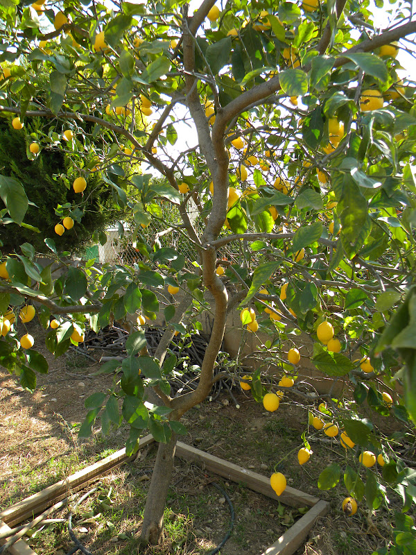 El huerto de tatay recogida de limones limonero sin limones for Limonero sin limones