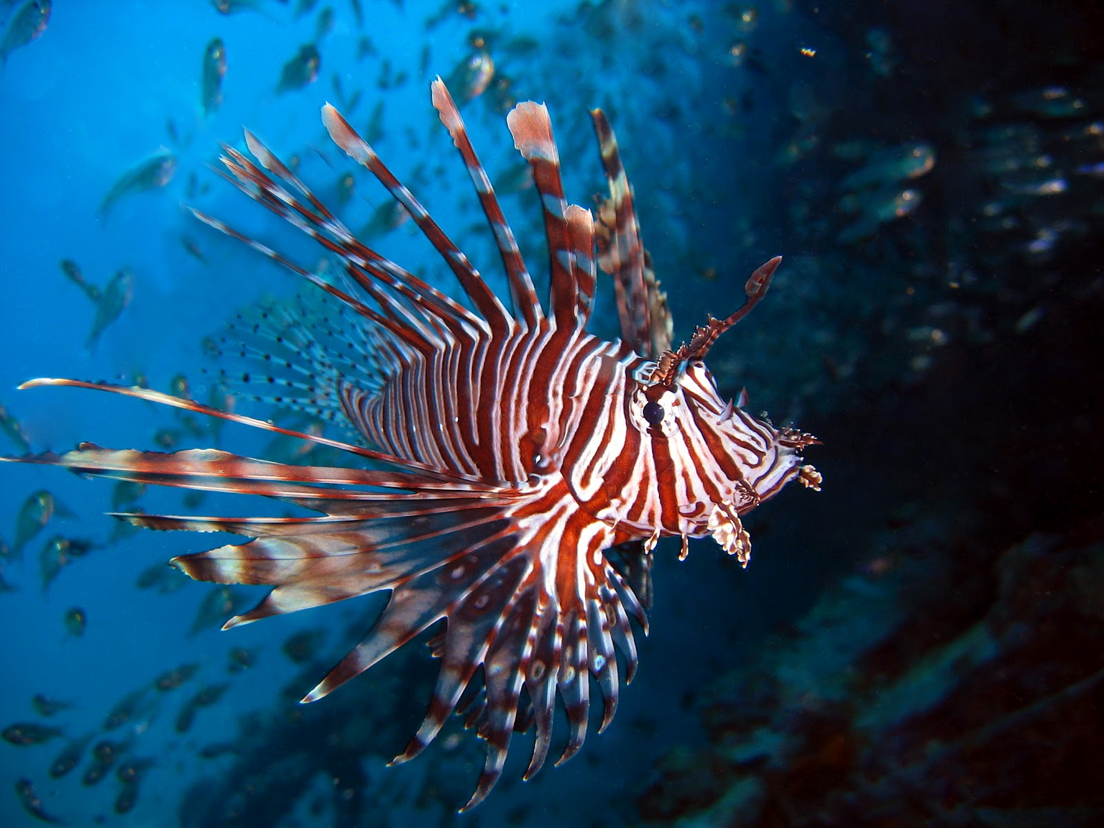 ~Cocoafang's Randomness Blog~: Lionfish fin armor