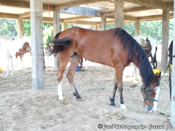 Racing horse at Hambantota for South Asian Beach Sports