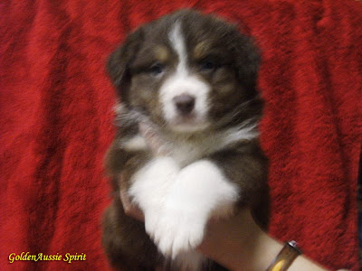 australian shepherd puppies