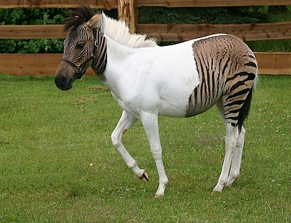 The Muddle-Headed Mamma: A Zorse is a Zorse, of Course of ...