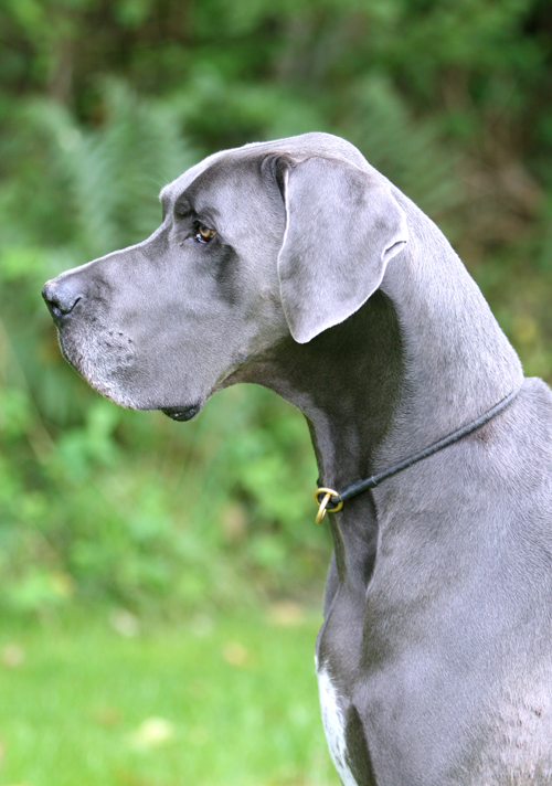 10 Interesting Facts about Great Danes