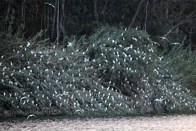 Egret colony at lake bishoftu in ethiopia