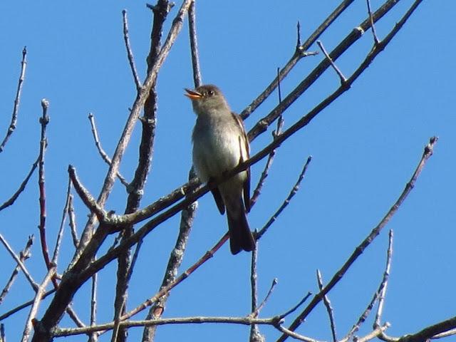 eastern wood-pewee singing