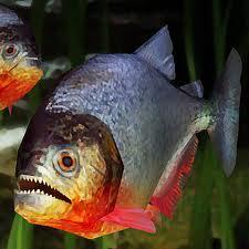 Ikan Piranha, Berbagai Fakta dan Khasiatnya