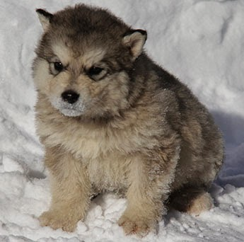 cute Alaskan Malamute puppy pictures h