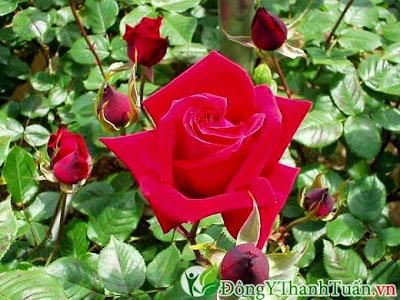 Cách chữa đau răng nhanh chóng từ hoa hồng