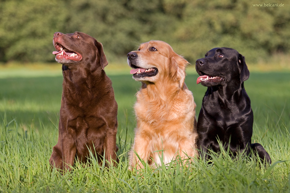 Cute Dogs: Golden Labrador Retrievers