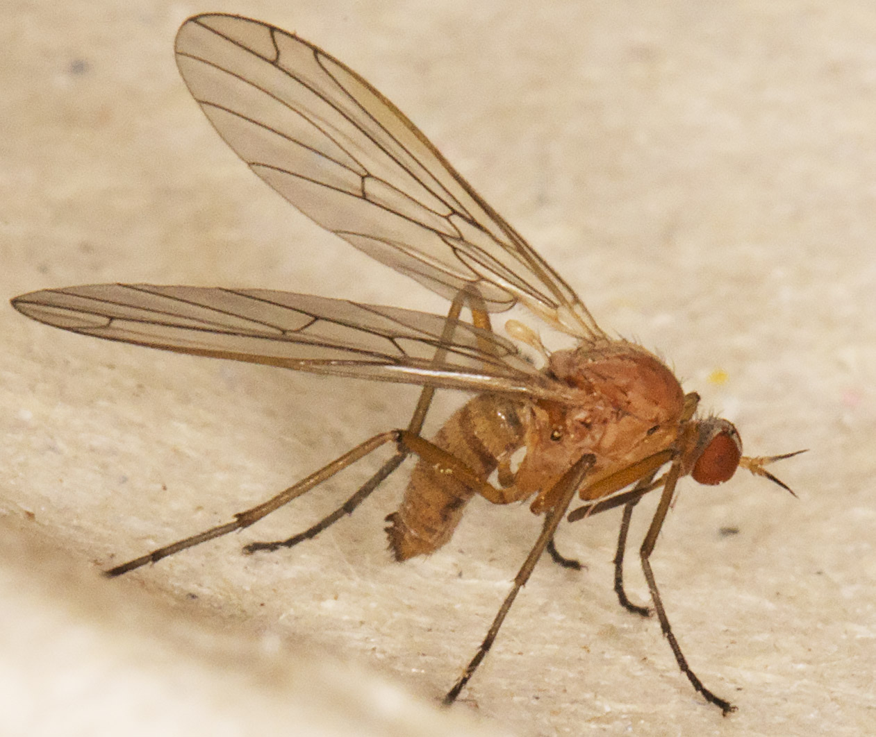 Fly, Xanthempis concolor.  In my garden light trap in Hayes on 18 May 2014.