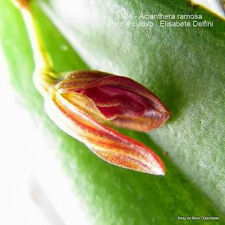 Pleurothallis ramosa