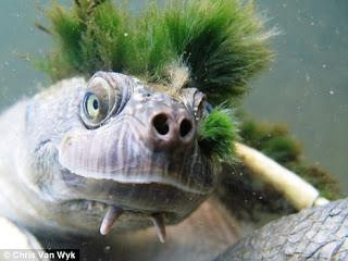 mary river turtle penyu