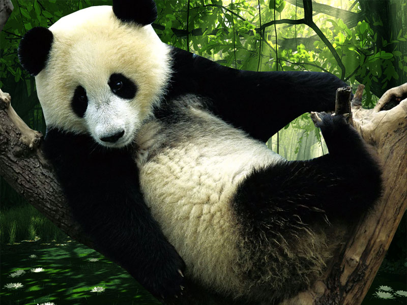 panda pictures hd wallpapers - photo #20